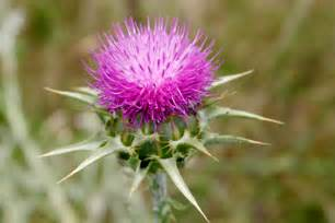 milk thistle liver picture 1