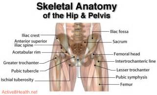 anatomy of the hip joint picture 9