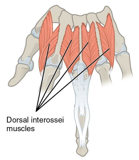 anatomy deep back muscle picture 17