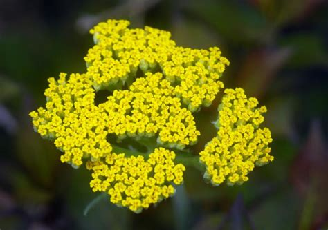 is yellow yarrow same as white yarrow picture 3