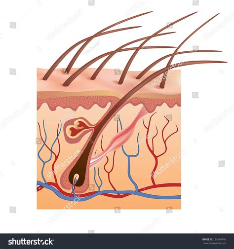 free illustrations of human skin picture 18