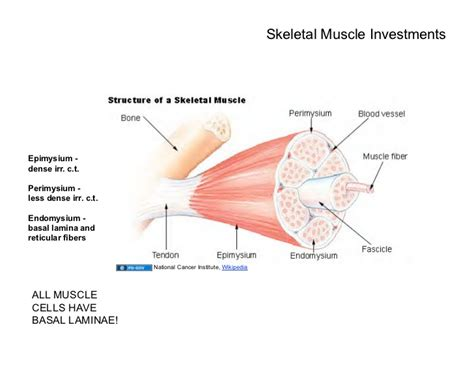 cardiac muscle cells are picture 5