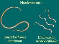 pictures of white intestinal parasites or worms picture 6