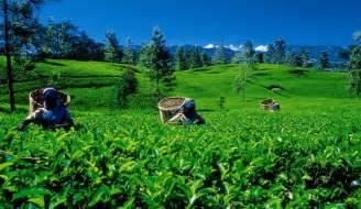 slim fast green tea sri lanka picture 13
