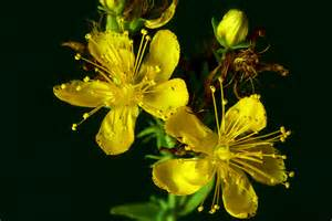 st. john's wort for insomnia picture 3