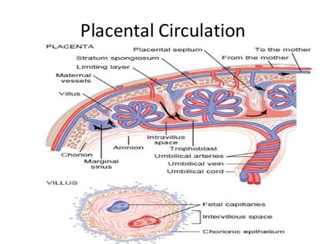 blood flow in uterus picture 11