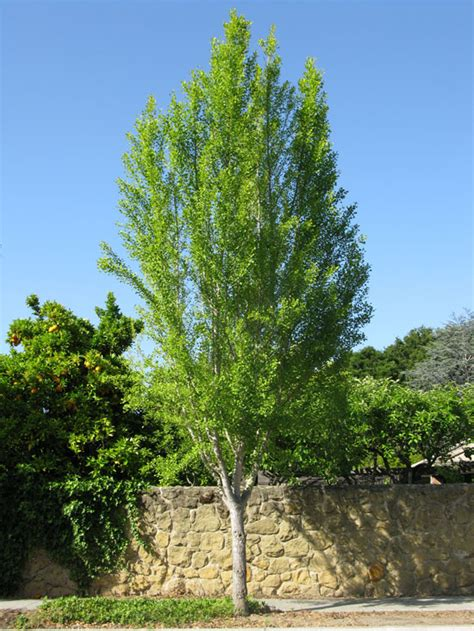 where are ginkgo biloba trees originally from picture 10