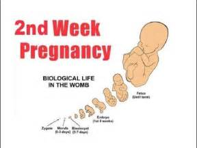 can gynecosid terminate 2weeks pregnancy picture 1