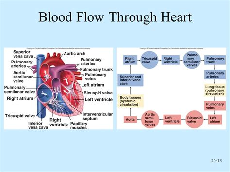 picture blood flow heart picture 9