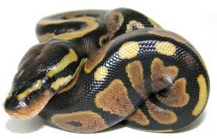 can we have your liver python picture 7