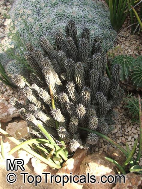 hoodia gordonii for sale picture 7