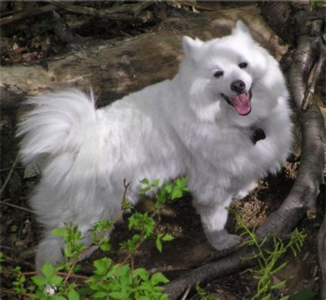 american eskimo known health problems picture 9