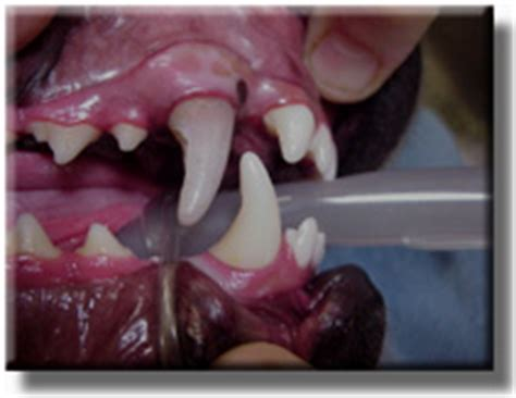 dead dog teeth picture 2