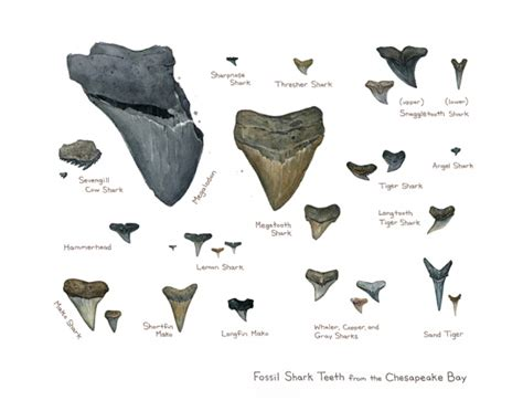 fossilized shark teeth picture 3