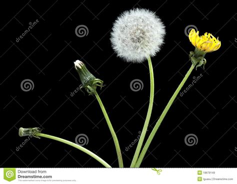 stages of growth of dandelions picture 5
