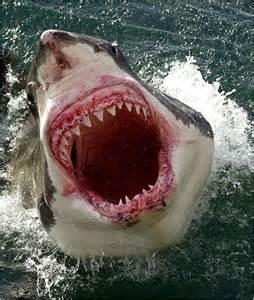 great white shark teeth picture 6