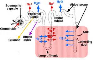 amino acids for increaed blood flow picture 15