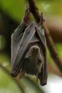 pictures of vampire bats sleeping picture 6
