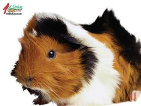 probiotic for guinea pigs picture 9