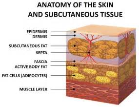 subcutaneous fat and cellulite picture 1