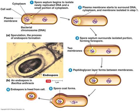 Bacterial endospore picture 3