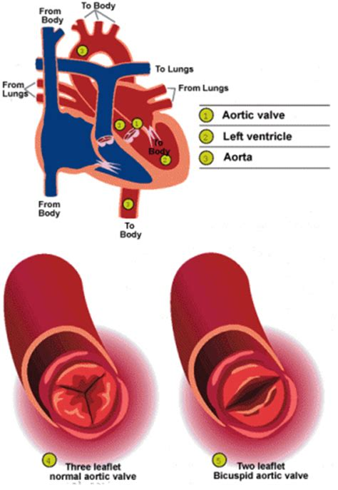 blood flow through the heart picture 6