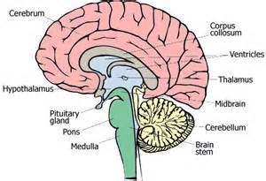 brain parts causing low testosterone picture 6
