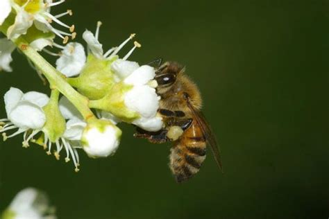 australian hair bee picture 2