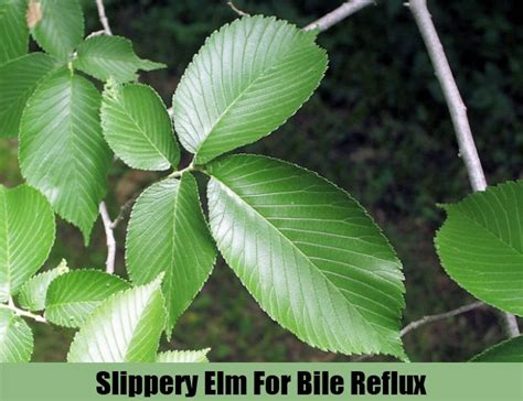 slippery elm herbal remedy picture 9