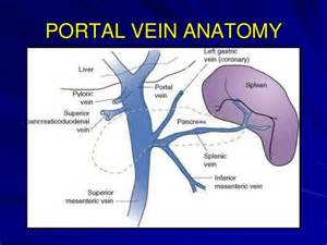 portal venous anatomy liver picture 10