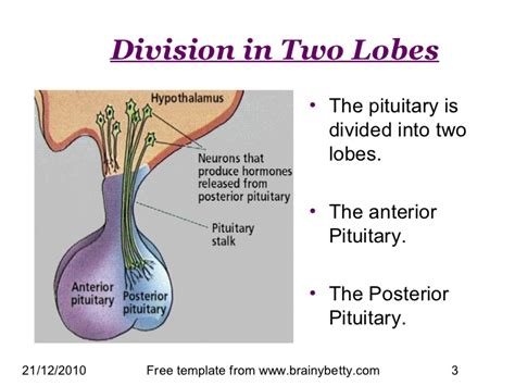 anterior pituitary gland picture 11