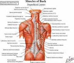 anatomy deep back muscle picture 13