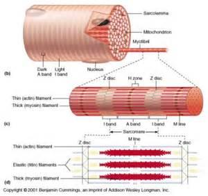 anatomy of skeletal muscle fiber picture 11