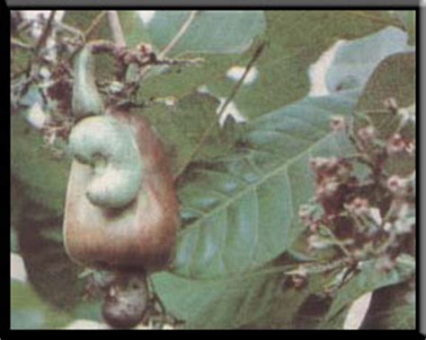 kumintang herbal plant picture 6