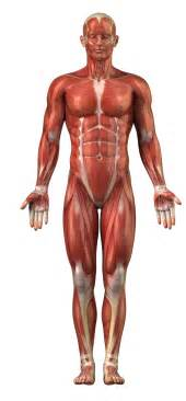 horse muscle system picture 2