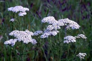 yarrow picture 10