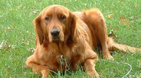 liver problems in dogs picture 1