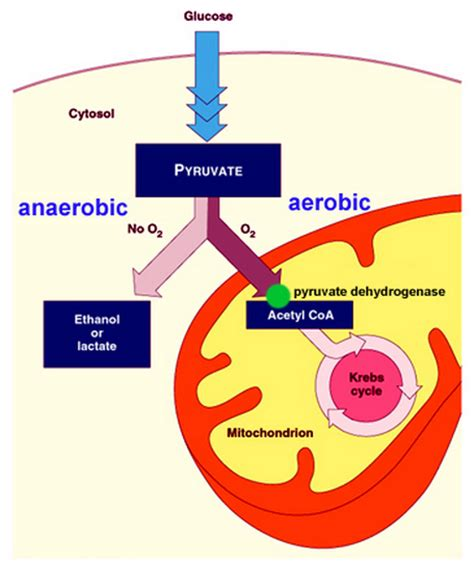 anaerobic picture 1