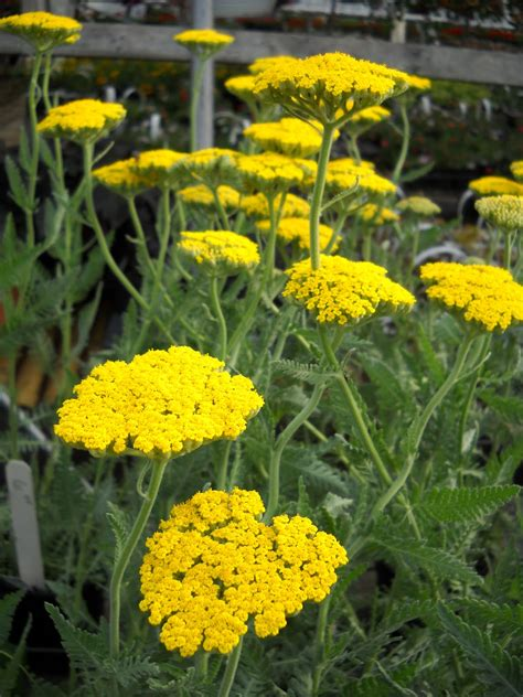 yellow yarrow picture 2