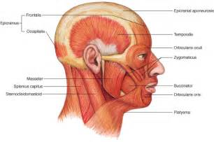 face muscle picture 2