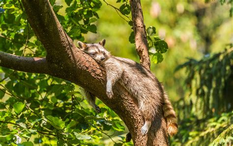 does a racoon sleep in a tree picture 3