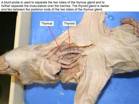 thyroid from sheep picture 6