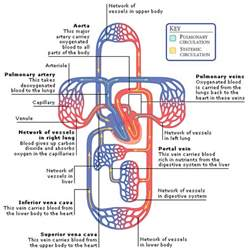 blood flow and healing picture 2