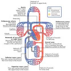 blood and circulation picture 2