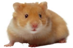 hamster h picture 5