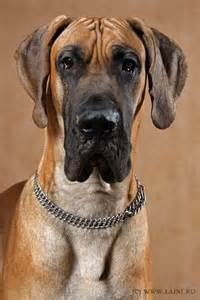 great dane with face acne picture 13