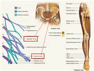 l1 muscle innervation picture 6