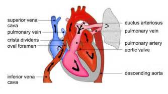 embryonic blood flow picture 14