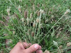 buckhorn plantain picture 2