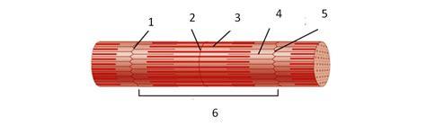 anatomy of skeletal muscle fiber picture 10